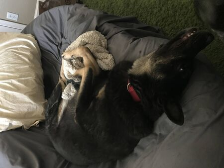 A relaxed big black and tan dog curled up and hanging out.