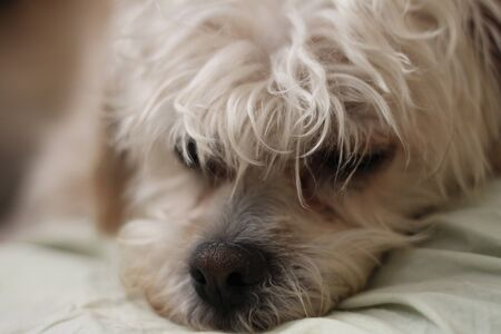 a small white fluffy dog