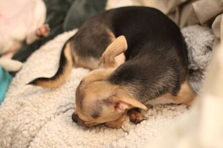 A sleepy black and tan teacup chihuahua napping on a soft blanket. Stock fotó