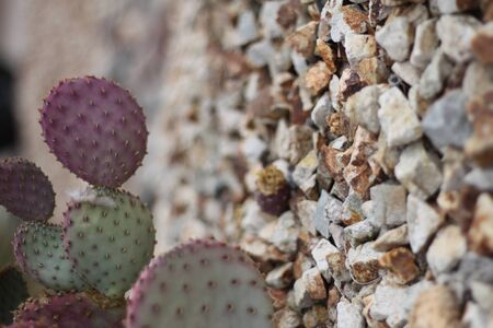 a prickly pear cactus plant