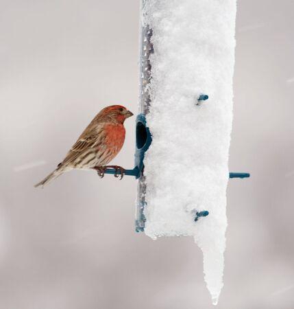 finch: Male House Finch feeding in a snow storm.