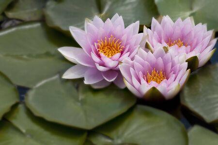 3 Waterlillies