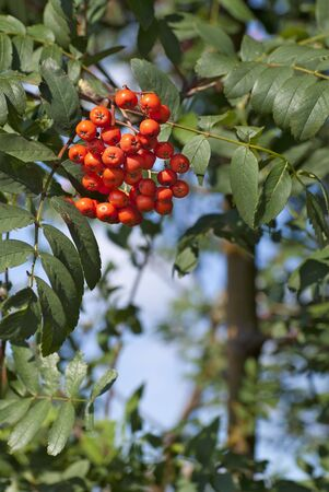 Mountain ash Stock Photo