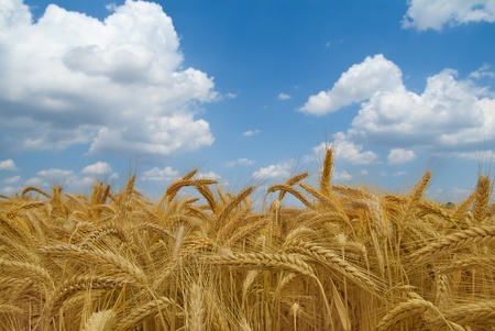Cornfield in the summer sky and clouds Stock Photo