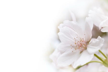 Cherry Blossom with Copy Space