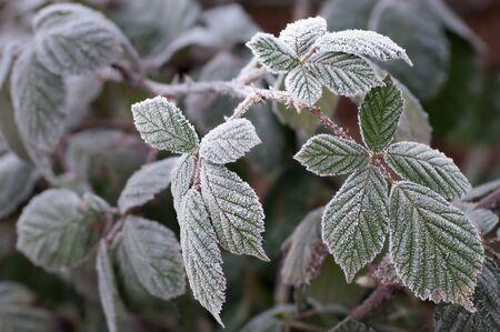 Blackberry leaves in winter frost