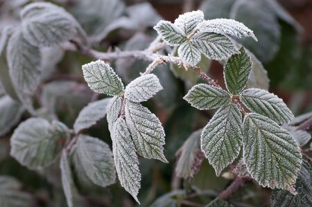 Blackberry leaves in winter frost