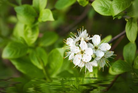 blackthorn with water Stock Photo - 9975349