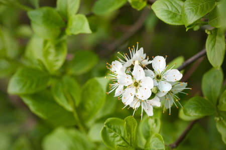 blackthorn as a close-up Stock Photo - 9975350