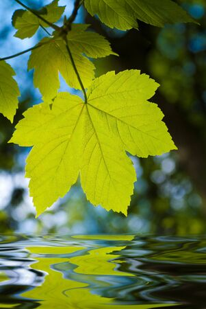 maple leaf with water Stock Photo