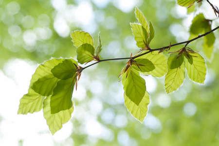 beech leaves against the light