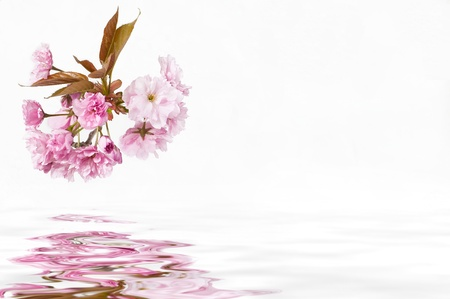 cherry blossoms over water Stock Photo - 9975358