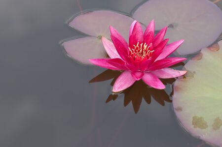 red water lily with leaves and reflection