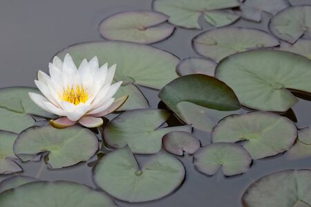white water lily with leaves Stock Photo
