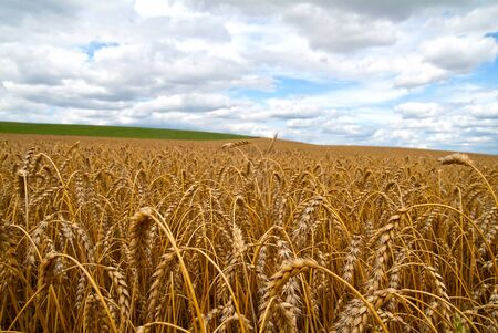 wheat field with sky
