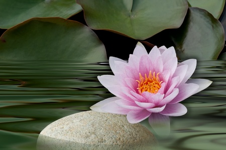 water lilies bloom with stone Stock Photo