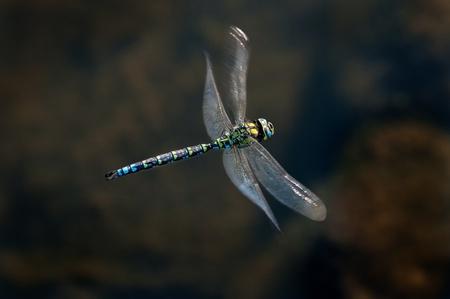 emperor dragonfly in flight Stock Photo