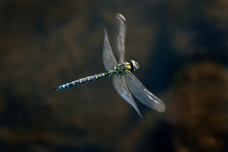 emperor dragonfly in flight Stock Photo
