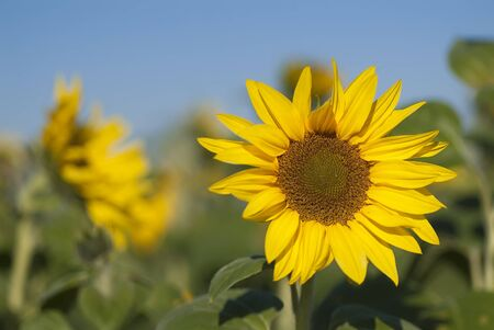 sunflower field with sky Stock Photo - 10951403