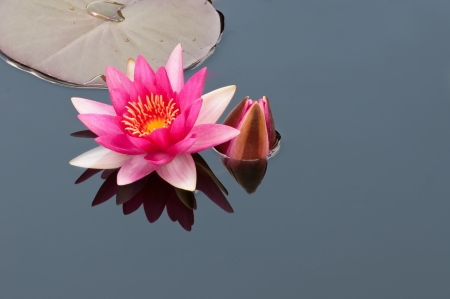 red water lily with reflection Stock Photo - 14970932