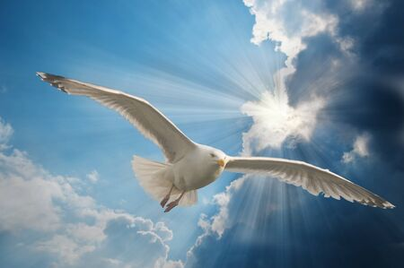 Seagull in flight with sky and sun rays Stock Photo