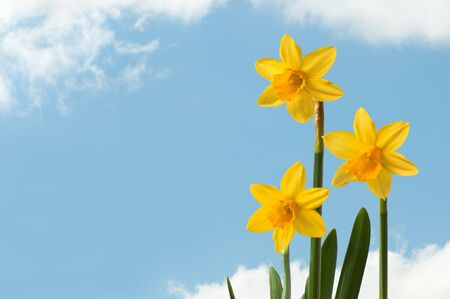 Daffodils with sky and clouds