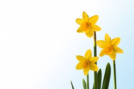 Daffodils with white blue course Stock Photo - 17872492