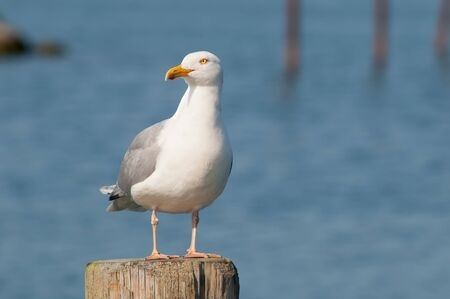 herring gull on a wooden post