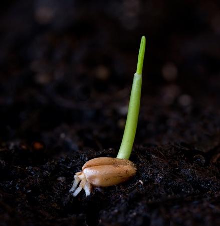 germinating wheat grain against a dark background