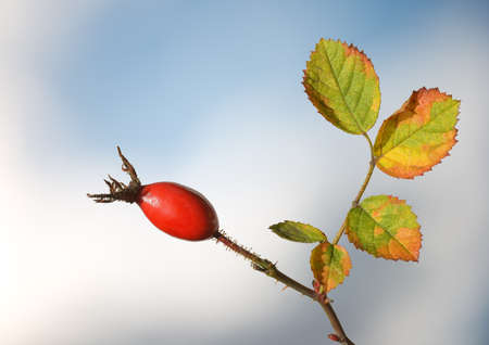 Rosehip with sky in background Stock Photo