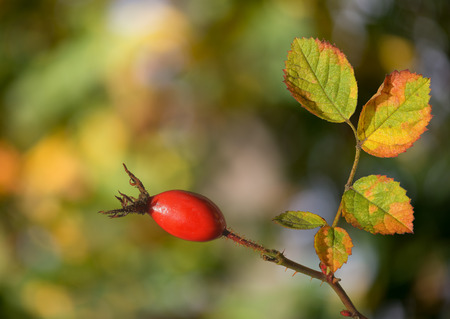 Rosehip with forest in background