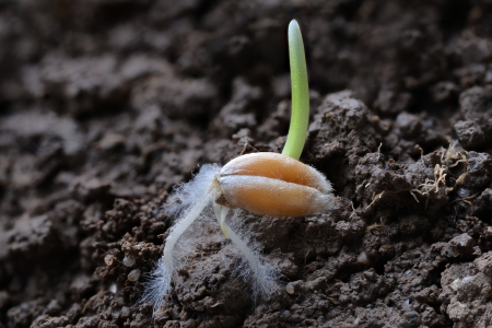 Wheat grain during germination in close-up