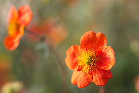 two orange colored flowers in close-up