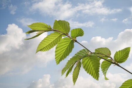 Fresh beech leaves with sky and clouds