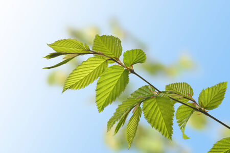 fresh beech leaves with sky Stock Photo