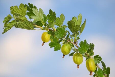 gooseberries with sky and clouds with sky