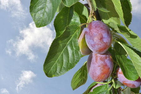 Plums on a branch with sky