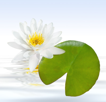 Sommer: Weie water lily with leaf and water as square Stock Photo