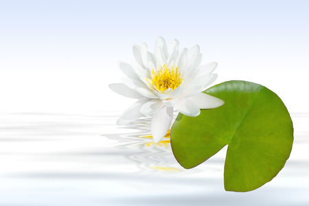 pflanzen: Weie water lily with leaf and water