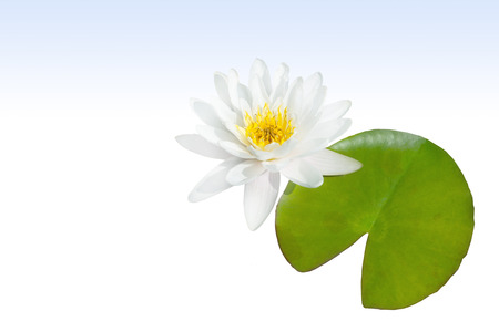 pflanzen: Weie water lily with leaf