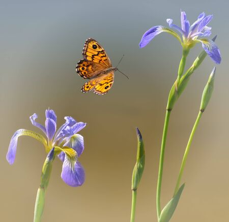 butterfly with two water lilies