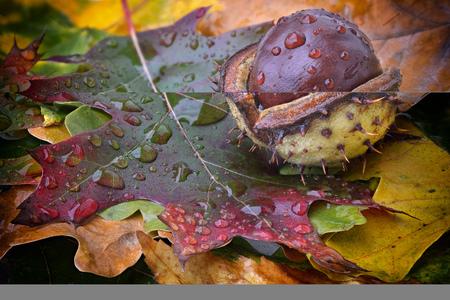 Chestnut on autumn leaf with raindrops