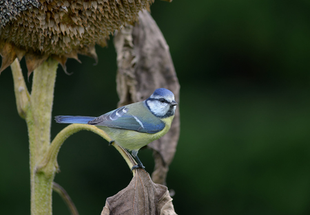 Blue tit on a faded sunflower