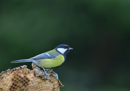 Great tit on withered sunflower