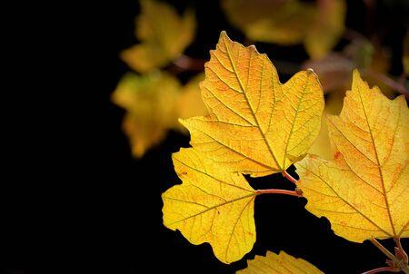 Maple leaves in the back light
