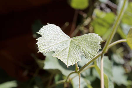 leaf grape: Hoja de la uva en la vid