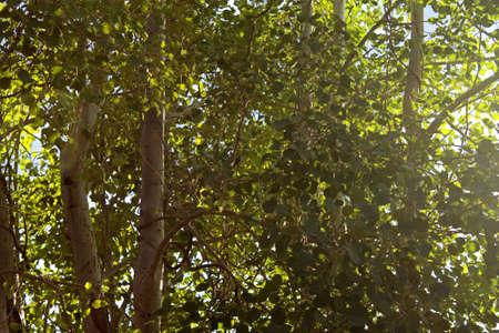 Aspen Leaves photo