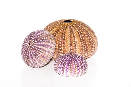 Sea urchins on white background Standard-Bild