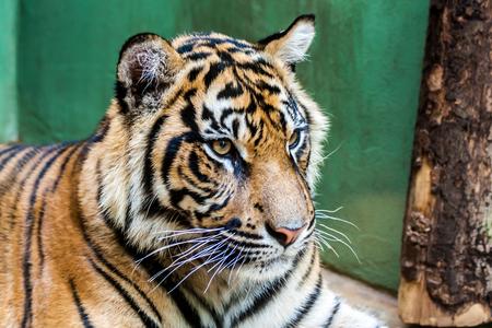 suburbian: Suburbian tiger with dangerous look in zoo Stock Photo