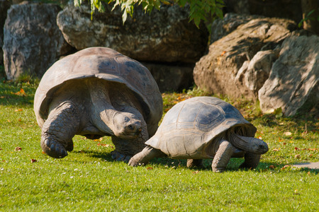 Bigger tortoise following cub of tortoise on grass Фото со стока